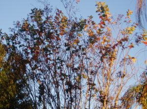 Solstice collors on the Crepe Myrtle